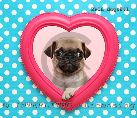Xavier, ANIMALS, dogs, photos, SPCHDOGS841,#A# Hunde, perros