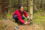 Scottish Wildcat (Felis silvestris grampia) biologist, Kerry Kilshaw, properly aligning camera trap on tree in coniferous forest, Scotland, United Kingdom