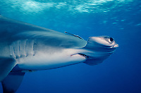 great hammerhead shark, Sphyrna mokarran, Walker's Cay, Bahamas, Caribbean, Atlantic