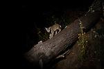 Bobcat (Lynx rufus californicus) sub-adult on log at night, Aptos, Monterey Bay, California