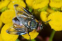 Goldschildfliege, Goldschild-Fliege, Phasia aurigera, Raupenfliege, Raupenfliegen, Tachinidae