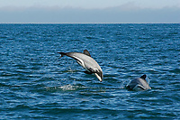 Hector's dolphin, Cephalorhynchus hectori, jumping or breaching, Akaroa, Banks Peninsula, South Island, New Zealand (South Pacific Ocean)