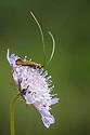 Nemophora metallica, Rough Bank SSSI, a flower-rich limestone grassland reserve. Gloucestershire, July.