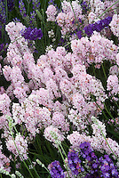 Lavandula angustifolia 'Hidcote Pink' English lavender