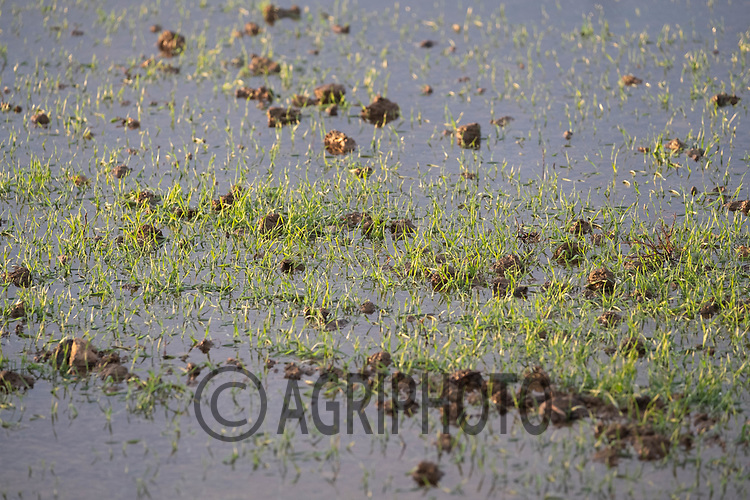 4/12/2020 Flooded Winter wheat field<br /> ©Tim Scrivener Photographer 07850 303986<br />      ....Covering Agriculture In The UK....