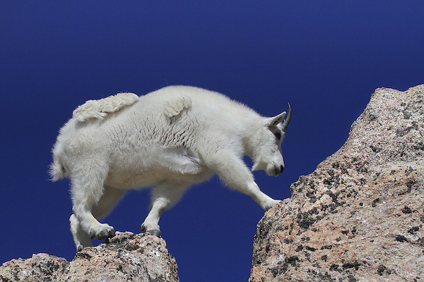 Mountain Goat (Oreamnos americanus) on the rocky summit of Mount Evans (14250 feet), Rocky Mountains, west of Denver, Colorado, USA .  John leads private, wildlife photo tours throughout Colorado. Year-round.