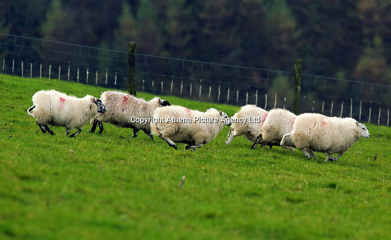 Sheep running in a field in Llangammarch Wells, Powys, Wales, UK