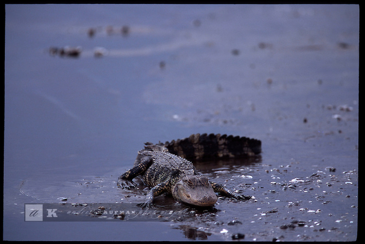 MAY 21, 2001. LAKE OKEECHOBEE, FLORIDA. Lake conditions are at about 9.5 three feet under average. Conditions are expected to get worse in the next few months. Here an alligator gets some rest on the north side of the lake near the KISSIMMEE RIVER..