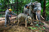 Mahouts measure the captured eight-month-old female calf Ayarthu. Following the death of her mother at the hands of poachers, Ayarthu got lost and came close to human territory. The local villagers reported her to the forestry department to be captured and sent to Wingabaw Camp.