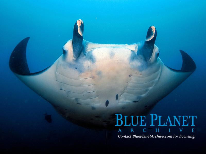 reef manta ray, Mobula alfredi