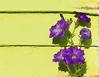 Purple Petunia against lime green wall.