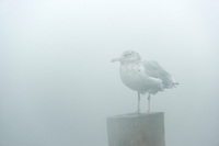 Seagull in fog.