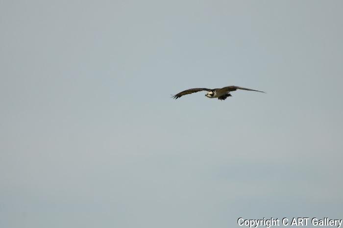 Osprey 3, Upper Newport Bay, CA.