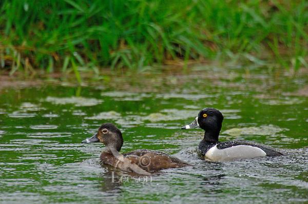 Ring-necked Ducks (Aythya collaris) drake and hen in rain.  Pacific Northwest.  March.