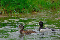 Ring-necked Ducks (Aythya collaris) drake and hen in rain.  Pacific Northwest.  March.