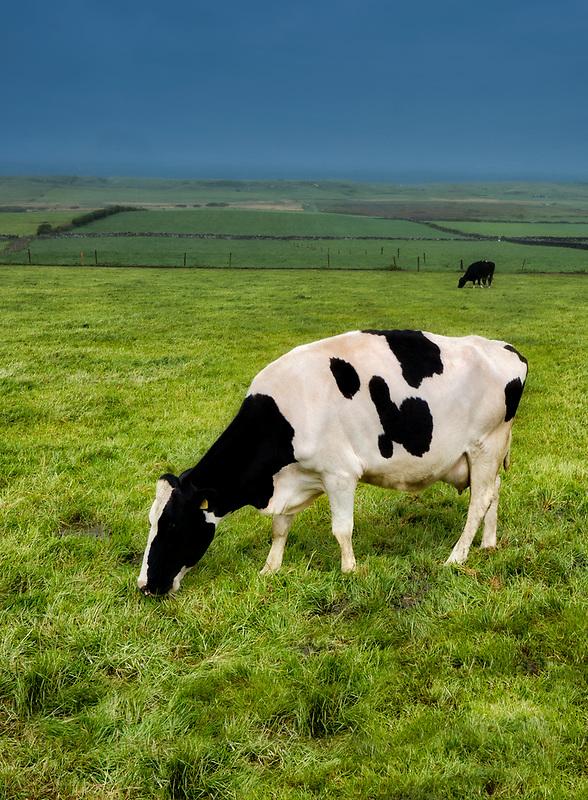 Friesian Holstein milk cows. County Kerry, Ireland