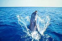 bottlenose dolphin, Tursiops truncatus ( c-r ), playing, Roatan, Honduras, Atlantic Ocean