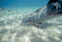 Indo-Pacific Ocean bottlenose dolphin, Tursiops aduncus, Nuweiba, Egypt, Red Sea., Northern Africa