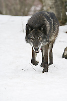 Grey Wolf walking over snow, watching intently - CA