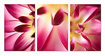 Close-up photographic triptych of magenta / yellow dahlia flowers.