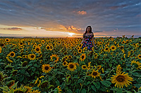 Natasha Jenkins enjoys a walk during sunset amongst a field of sunflowers that have grown recently due to the warm and sunny weather in Rhossili, in the Gower Peninsula, near Swansea, Wales, UK. Monday 13 August 2018
