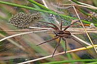 Gerandete Jagdspinne, Listspinne, Weibchen mit Jungspinnen im Netz, Jungen, Dolomedes fimbriatus, raft spider, raft-spider, la Dolomède des marais, Raubspinnen, Pisauridae