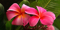 Colorful flowers of Hawaii