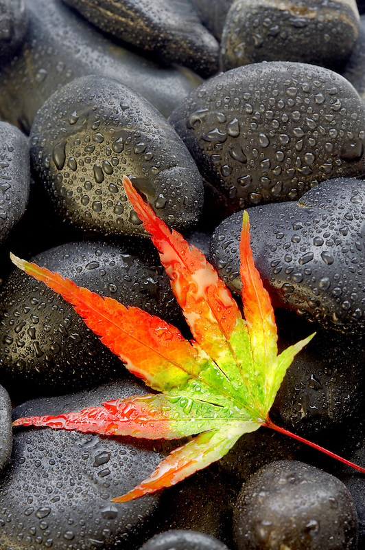 Japanese maple leaf in fall color on black rocks with rain drops.