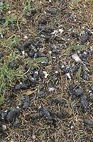 Waldohreule, Gewölle, Eulengewölle, Speiballen aus unverdaulichen Nahrungsresten, Ansammlung unterhabl eines Ruheplatzes, Waldohr-Eule, Eule, Asio otus, long-eared owl