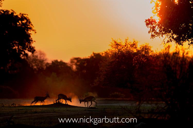 Male Impala (Aepyceros melampus) fighting / sparring at dusk / sunset. South Luangwa National Park, Zambia. December 2015