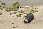 Sea Otter (Enhydra lutris) male on beach, Elkhorn Slough, Monterey Bay, California