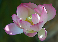 Pink and white lotus flower blossoming