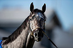 November 2, 2020: Essential Quality after a gallop at Keeneland Racetrack in Lexington, Kentucky on November 2, 2020. Alex Evers/Eclipse Sportswire/Breeders Cup
