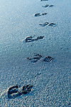 Foot prints of Sulawesi or Celebes crested macaque or Sulawesi or Celebes black macaque (Macaca nigra)(known locally as yaki or wolai) on black sand beach. Tangkoko National Park, Sulawesi, Indonesia.