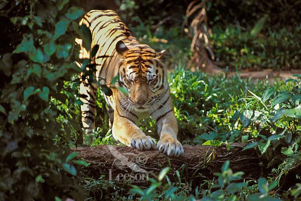 Sumatran Tiger (Panthera tigris) marking on log.