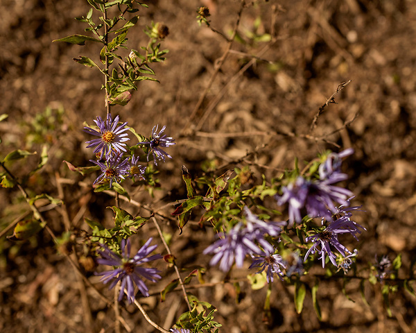 October 26, 2017. Raleigh, North Carolina.<br /> <br /> Aromatic Astor flowers bloom in the Plants For Birds Garden.<br /> <br /> A new garden designed by Ben Skelton containing native Plants For Birds was dedicated at the North Carolina Executive Mansion.