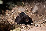Black bear (Urs americanus) cubs in a den