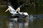 White Pelicans Herding Fish, American White Pelican, Sepulveda Wildlife Refuge, Southern California
