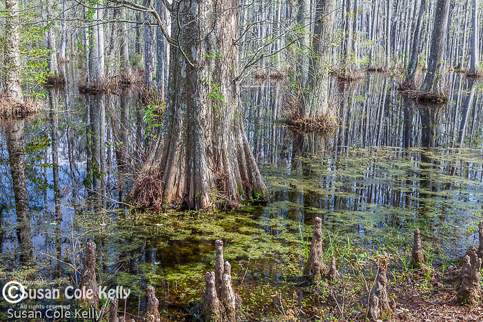 The cypress swamp at Cypress Gardens in Moncks Corner, South Carolina, USA