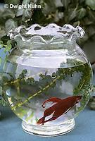 BY15-075z  Siamese Fighting Fish - male in decorative bowl - Betta splendens