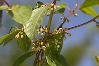 Gewöhnlicher Faulbaum, Blüten, Frangula alnus, syn. Rhamnus frangula, Alder Buckthorn, Bourdaine