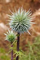 Wild thistle seed head, Syros Greece
