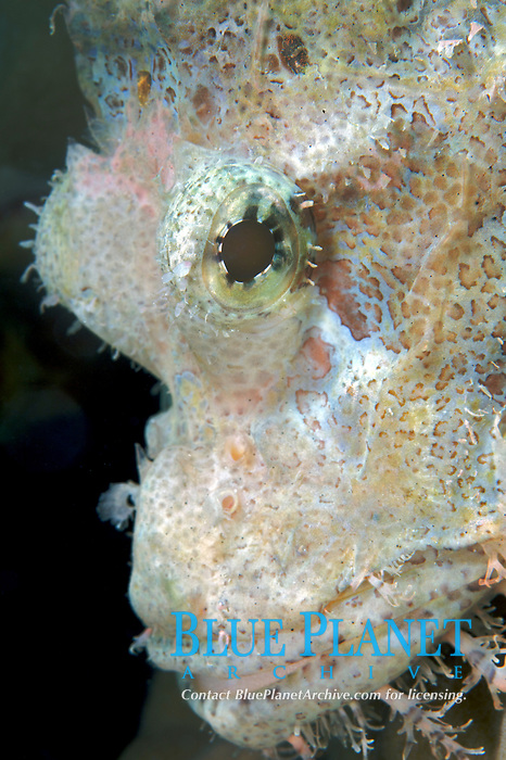 A white scorpion fish (Scorpaenopsis oxycephalus) hiding on a coral head off of Lombok, Indonesia, Indian Ocean