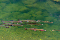 Wild Summer Steelhead Salmon (Oncorhychus mykiss) resting in cool pond waiting to spawn in the winter.  Pacific Northwest stream.  August.  These are not hatchery fish.