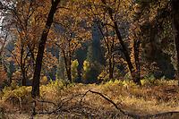Oaks, Cook's Meadow