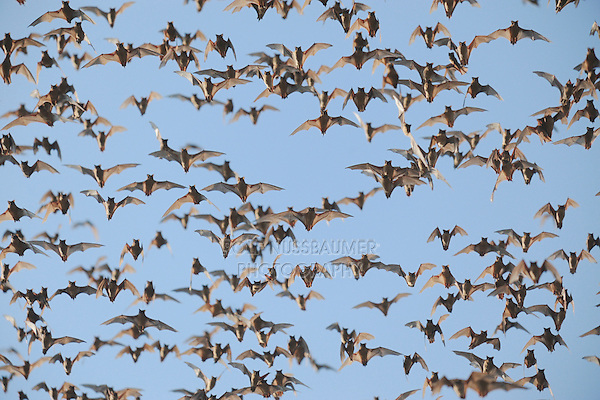 Mexican Free-tailed Bat (Tadarida brasiliensis), swarm in flight, Bracken Cave, San Antonio, Hill Country, Central Texas, USA