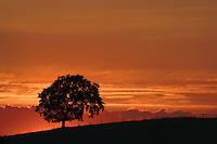 Tree at sunset near Barrhead, East Renfrewshire<br /> <br /> Copyright www.scottishhorizons.co.uk/Keith Fergus 2011 All Rights Reserved