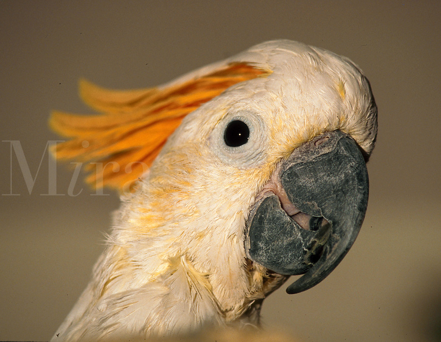 Citron crested cockatoo.