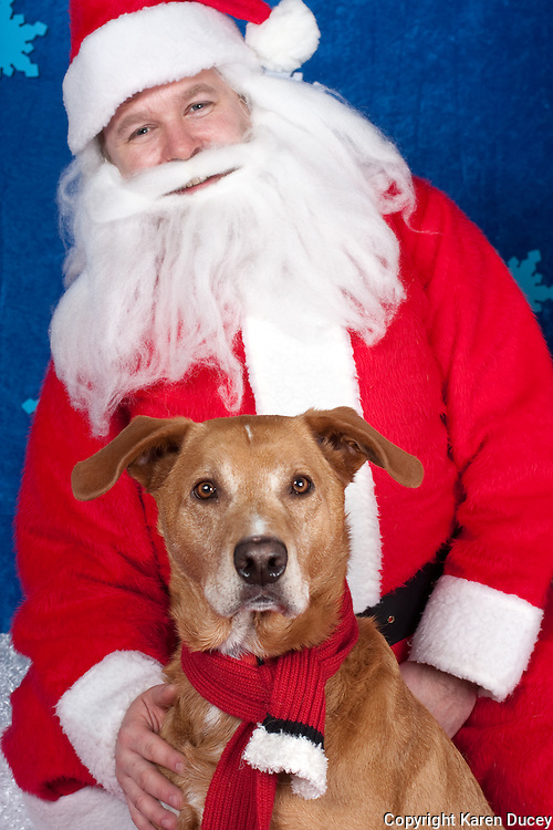 Dogs are photographed with Santa at a fundraiser for Dogs Deserve Better at Pet Pros in Redmond, WA on December 12, 2010. (photo by Karen Ducey)Kona is photographed with Santa at a fundraiser for Dogs Deserve Better at Pet Pros in Redmond, WA on December 12, 2010. (photo by Karen Ducey)