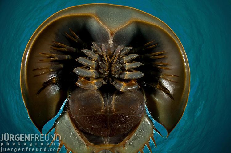 Prehistoric horseshoe crabs (Tachypleus gigas) underside